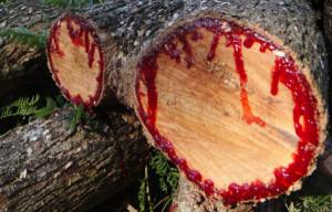 A hátborzongató vérző fák rejtélye