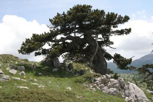 Megtalálták Európa legidősebb fáját