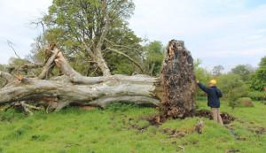 Rejtélyes középkori csontváz lógott a kidőlt fa gyökerei közt